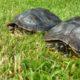 Schmuckschildkröten beim wach werden nach dem Mittagsschlaf