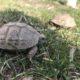 Frühlingserwachen zweier griechischer Landschildkröten