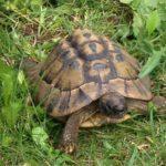 Schildkröte vermisst in Afalterbach Baden-Württemberg