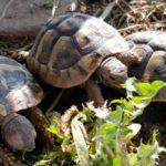 Griechische Landschildkröten Nachzucht 2016 abzugeben