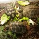 Griechische Landschildkröten im Freigehege bei der Schlacht am grünen Bufett