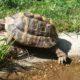 Griechische Landschildkröte beim Relaxen