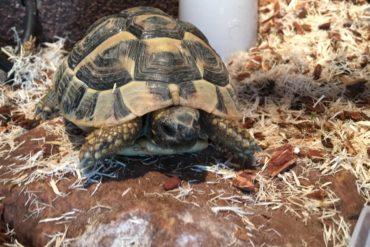 Landschildkröte in 56204 Hillscheid gefunden