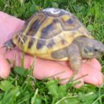 Griechische Landschildkröte vermisst in 53332 Bornheim