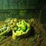 Neues Zuhause für 2 Griechische Landschildkröten gesucht