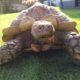 Spornschildkröte Paul