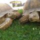 Sulcata/Spornschildkröte Paul und Paula