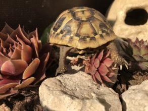 Griechische Landschildkröte - Geht nicht, gibts bei uns nicht