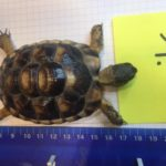 Breitrand Landschildkröten NZ 2017 zu verkaufen (Testudo marginata )