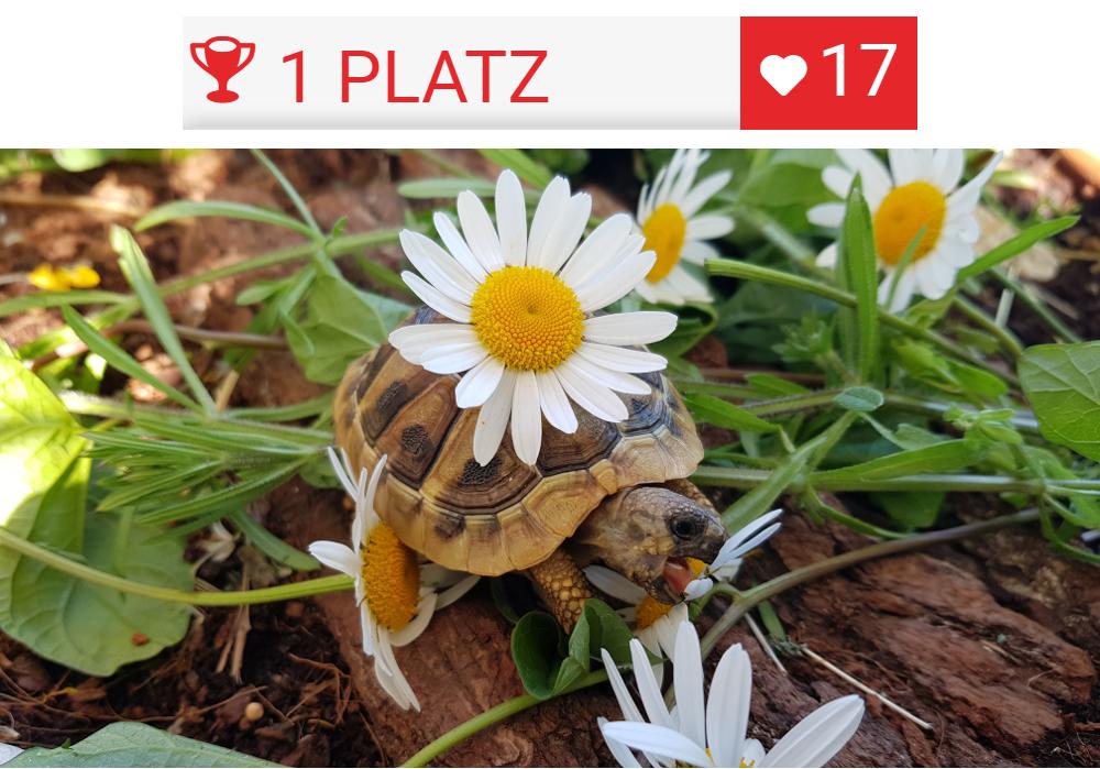 ▷ Alltop Schildkröten-Frühbeet | Landschildkroeten.de