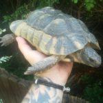 Breitrandschildkröte (Testudo marginata) 30 Jahre alt XL