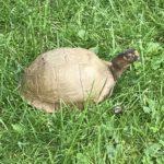 Dreizehen-Dosenschildkröte (Terrapene carolina triunguis) zu verkaufen