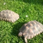 Verkaufe Breitrandschildkröten