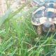 Sheldon - unsere griechische Schildkröte