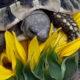 Beim Erschnuppern einer Sonnenblume