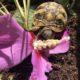 Wilmchen unsere Griechische Landschildkröte in Ihrem Freigehege