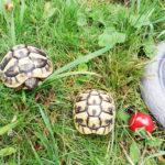 Griechische Landschildkröten NZ 2016 und 2017 zu verkaufen