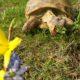 Russische Landschildkröte beim Fressen erwischt