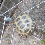 Vierzehenschildkröte / Steppenschildkröte zu verkaufen