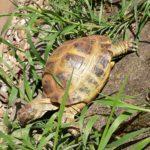 Schildkröte in Gründau entlaufen