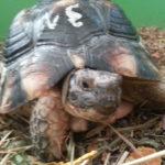 Griechische Landschildkröte vermisst in Uttenreuth