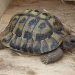 Griechische Landschildkröte in Kaufbeuren vermisst