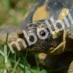 griechische Landschildkröte in Flein entlaufen
