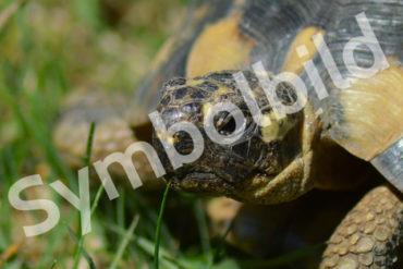 Griechische Landschildkröte entlaufen/gestohlen