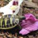 Unsere Clarissa beim Frühstück! Griechische Landschildkröte
