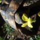 Lecker Nachtkerze für die Griechische Landschildkröte