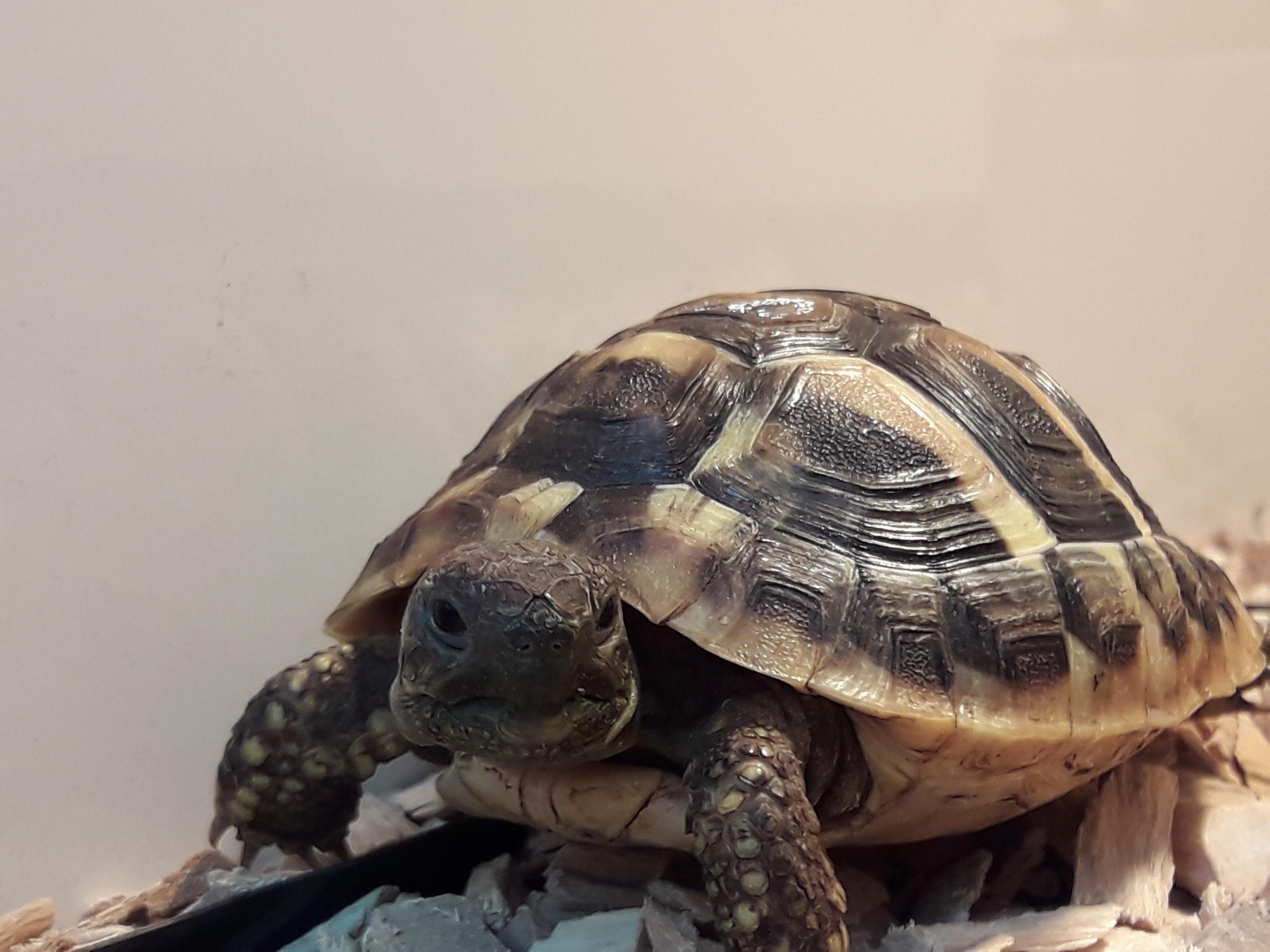 Griechische Landschildkröte Fotostar
