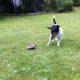 Griechische Landschildkröte mit Jack Russell-Terrier