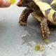 Griechische Landschildkröte mit Weintraube