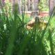 Russische Vierzehenschildkröte im Garten