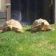 Tropische Spornschildkröte: Die letzten schönen Oktobertage noch genießen