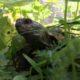 Emil, meine griechische Landschildkröte