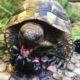 Brombeeren findet meine griechische Landschildkröte besonders lecker