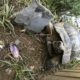 Maurische landschildkröte in ihrem neuen Auslauf