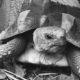 Griechische Landschildkröte in ihrem Freigehege