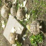 Gruppe von 4 russischen Landschildkröten zu verkaufen