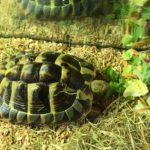 Griechische Landschildkröte Elfriede sucht neues Zuhause