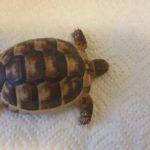 Griechische Breitrandschildkröte in liebevolle Hände abzugeben