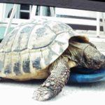 50 Jahre alte griechische Landschildkröte