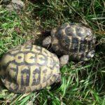 2 Griechische Landschildkröten NZ 1999 + 2002 zu verkaufen