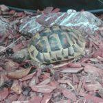 Griechische Landschildkröte vermisst in Gladbeck Rentfort-Nord
