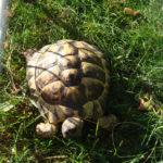Griechische Landschildkröte vermisst in Geisenfeld (Zell)