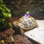 Griechische Landschildkröte zu verkaufen (3 1/2 Jahre alt)