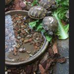Griechische Landschildkröten Nachzucht 2018 zu verkaufen