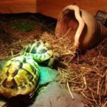 Verkaufe zwei Griechische Landschildkröten