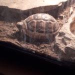Breitrand Schildkröten zu verkaufen